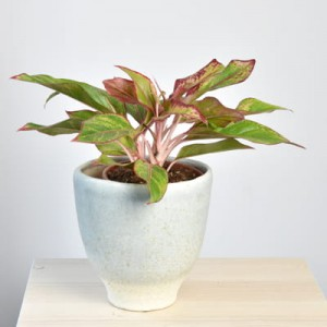 Aglaonema King of Siam rozmial L