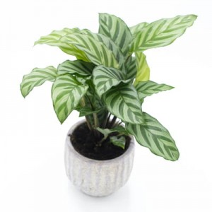 Calathea  'Freddy' - Kalatea